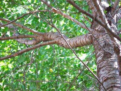 蝉がとまっている木